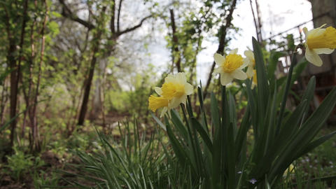 Narcissus flower in garden Footage