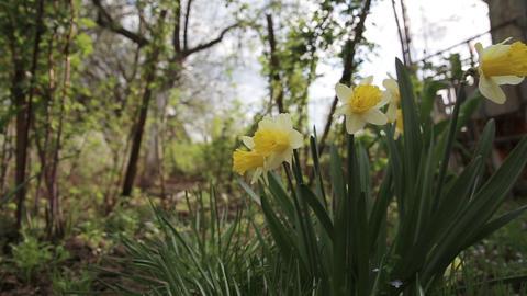 Narcissus flower in garden Footage