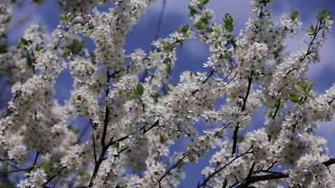 branch cherry tree flowering Footage