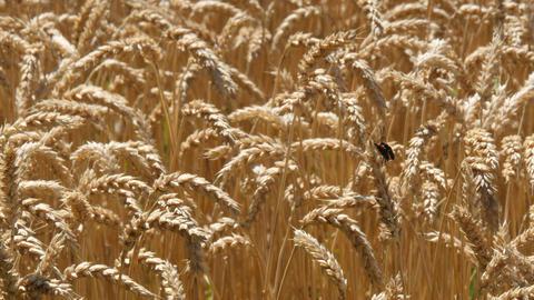 麦畑 ビデオ