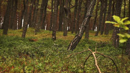 forest with pine trees Footage