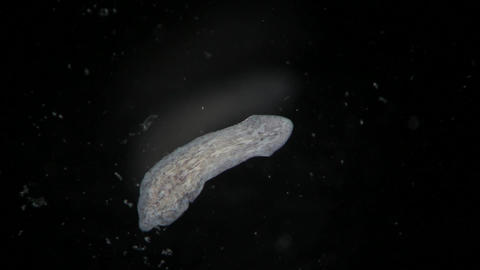 Turbellaria Flatworms Planaria by microscope. Freshwater wild nature Filmmaterial