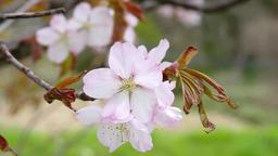 Cherry blossom flower IMGP9259 Footage