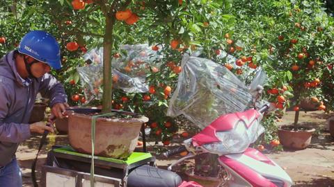 Guy Loads to Motorbike Mandarin Tree Pot on Market for TET Footage