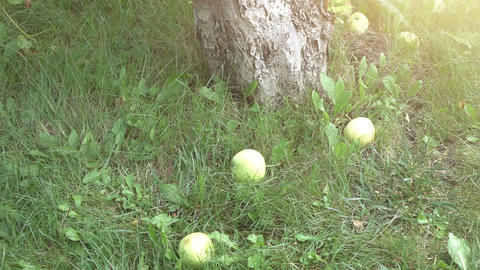 Two videos of apples falling on the grass in real slow motion Footage