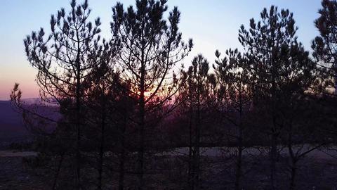 Flight above pine trees Footage