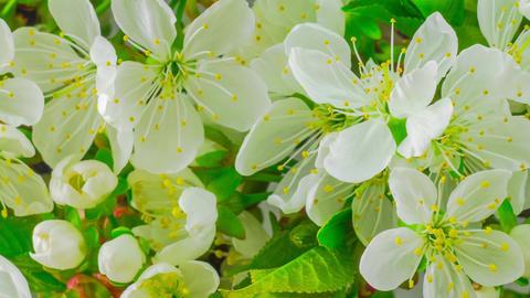 White Cherry Tree Flowers Footage