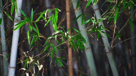 Winter-bamboo3 Stock Video Footage