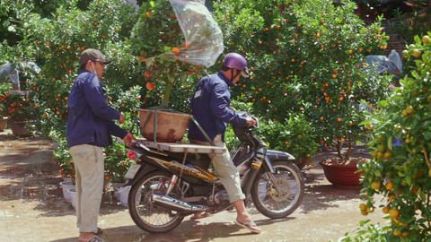 Man Starts Drive on Motorbike with Mandarin Tree Pot Footage
