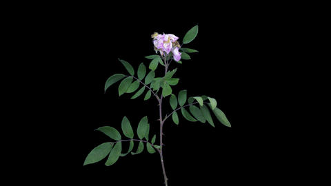 Time-lapse of drying Rosa Rubiginosa branch, 4K with ALPHA Footage