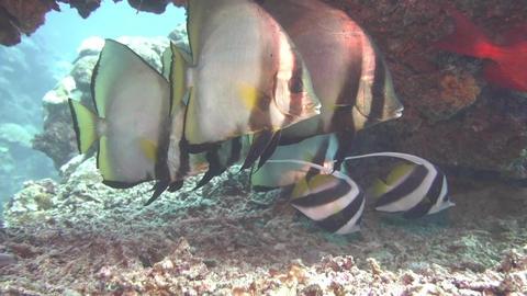 Dusky batfish & False moorish idol 01 Footage
