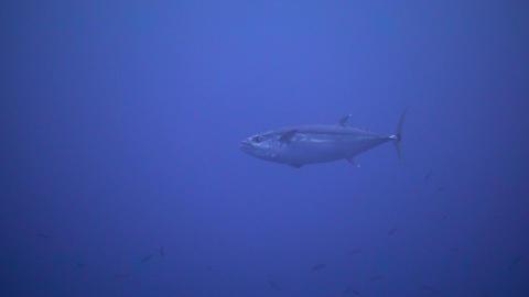 Dogtooth tuna 01 Footage