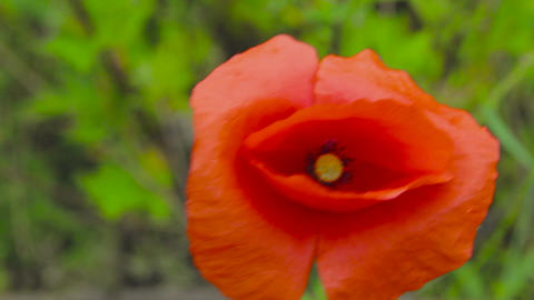 Flower of red poppy in a field of poppies. Flower of red poppy in the field amon Footage