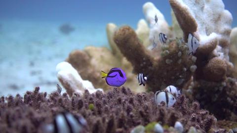 Palette surgeonfish & fry GRP 02 영상물