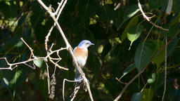 The beautiful Eastern bluebird (female) Footage