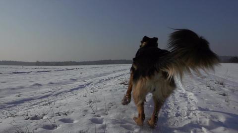 Dog (German Shepherd ) running in the snow in winter. Slow motion Footage