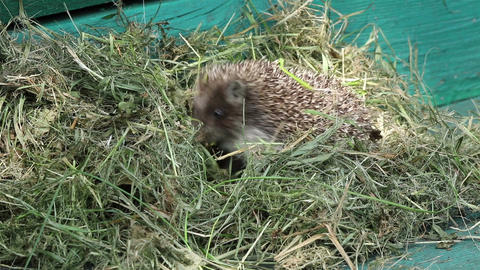 A small hedgehog in hay Footage