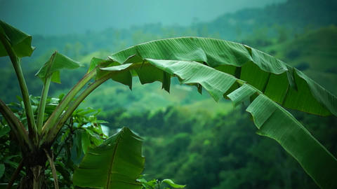 Banana tree at the mountain top Stock Video Footage