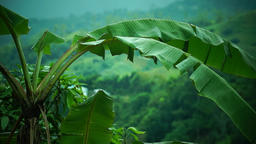 Banana tree at the mountain top Footage