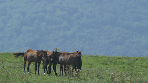 Slow Motion Brown Horses Herd Pastures on Green Meadow Stock Video Footage
