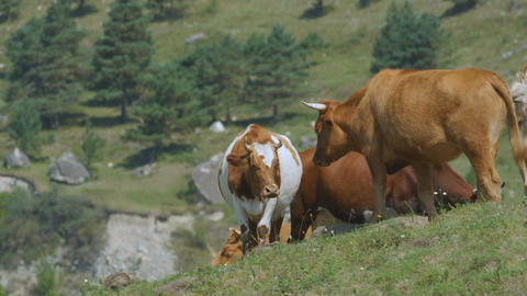 Closeup Cow Herd Grazes on Green Meadow among Hills Footage