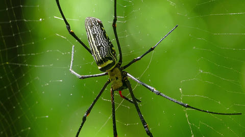 Large nephila spider with her cub on the web, 4k Footage