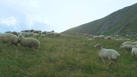 White Sheep Herd Grazes on Green Meadow among High Mountains Footage