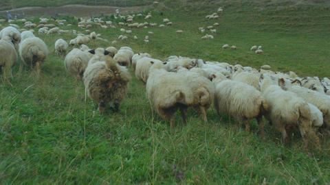 Closeup Sheep Herd Runs on Pasture Meadow among Green Hills Footage