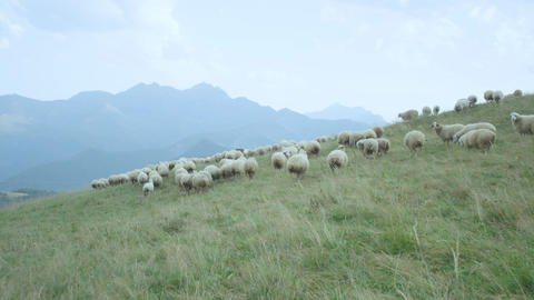 White Sheeps Herd Grazes on Green Meadow among High Mountains Footage