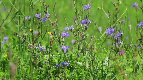 Field blue flowers Footage