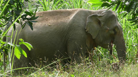 Indian elephant eating reed in jungle, Thailand Live Action