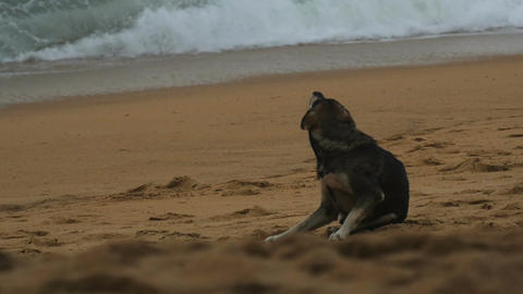 Pariah-dog itches on the beach Footage