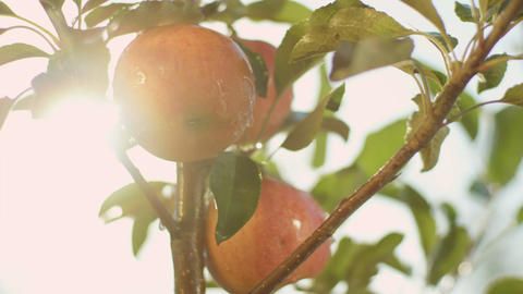 Panorama of Juicy Red Apples Hang on Tree Branch Footage