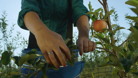 Slow Motion Woman Picks up Red Apples from Tree Branch Footage