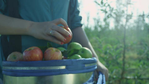 Slow Motion Woman Carries Big Bucket with Fresh Juicy Apples Footage