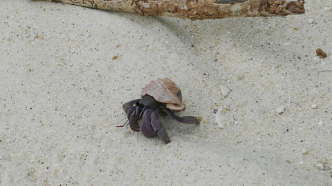 hermit crab crawling on white sand, 4k Footage