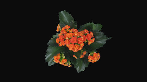 Time-lapse of opening orange kalanchoe flower, 4K with ALPHA channel, top Footage