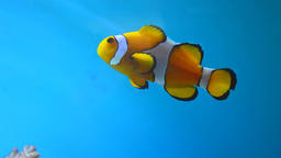 Nemo Clownfish and Blue fish Footage