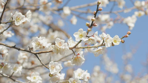 ume blossom 梅ノ花_4K/HD/freeSD ライブ動画