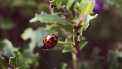 Ladybug crawling on a branch of a bush with purple berries Live Action