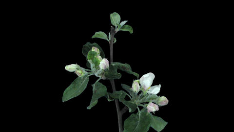 Time-lapse of blooming apple tree branch with ALPHA Footage