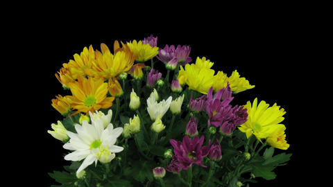 Time-lapse of opening multicolor chrysanthemum flower in RGB + ALPHA matte forma Footage