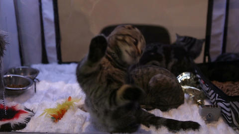 Exhibition of beautiful and expensive cat breeds, kitties playing with a toy Live Action