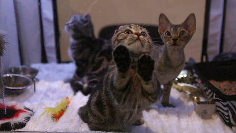 Three beautiful kittens of expensive breed playing with toys during cat show Live Action