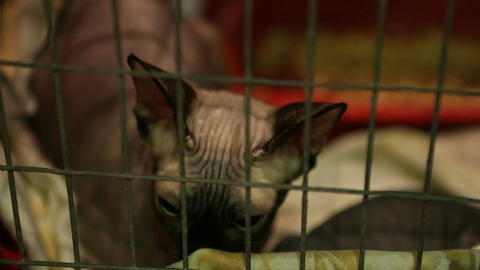Homeless sad Sphynx cat with big eyes lying in iron cage, pet shelter, adoption Live Action