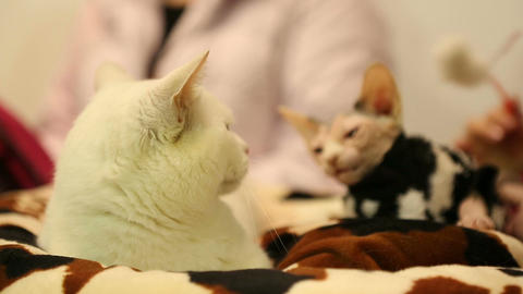 Thoroughbred Munchkin and Sphynx cats relaxing before pet exhibition, animals Footage