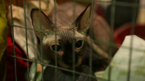Cat mother protective of her kitty lying in iron cage at animal shelter, Sphynx Live Action