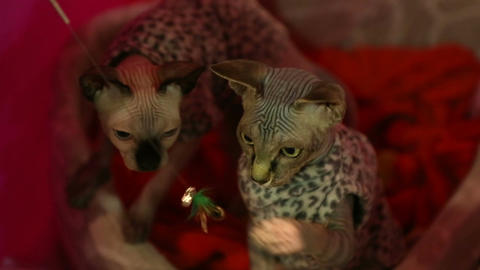 Two active Sphynx kitties in costumes playing with toy at cat exhibition Live Action