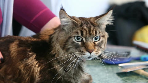 Female pet groomer petting scared Maine Coon cat. People taking care of animals Live Action