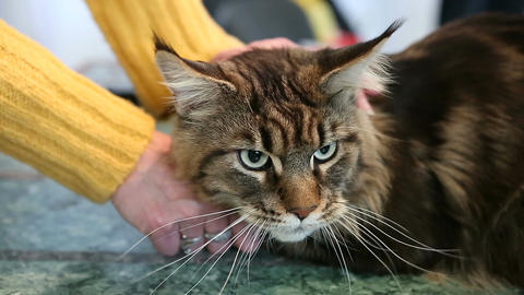 Frightened and nervous Maine Coon cat lying on the table in pet beauty salon Footage